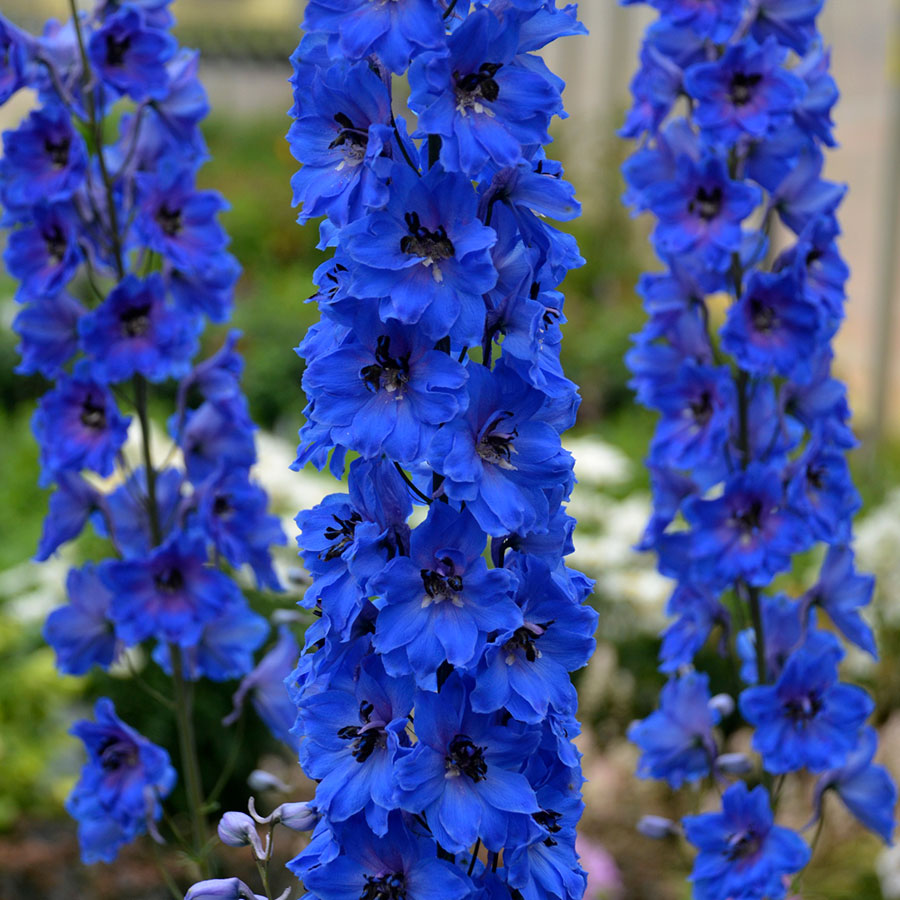 Delphinium (Blue Cloud)