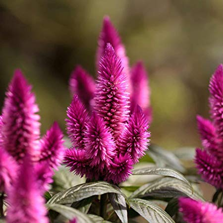 Celosia (Amazon)