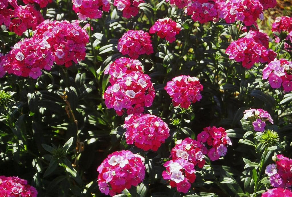 Dianthus (Field)