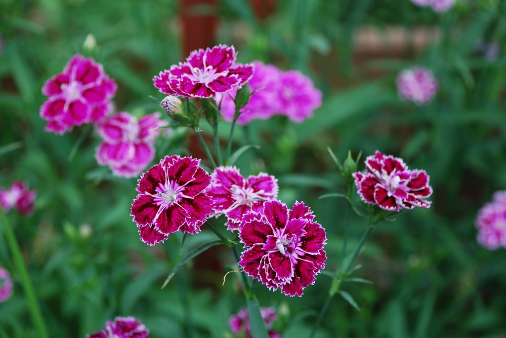 Dianthus (Greenhouse)