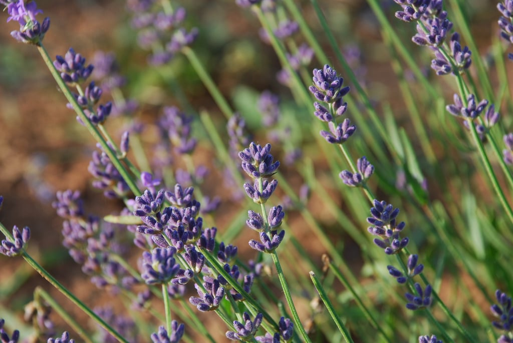 Lavender (Herb)